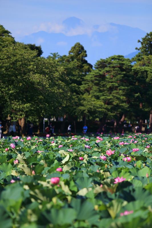 妙高山をバックに高田公園の蓮の花