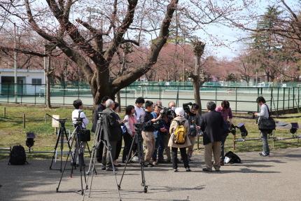 高田公園標本木染井吉野