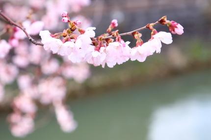 綺麗な色の桜