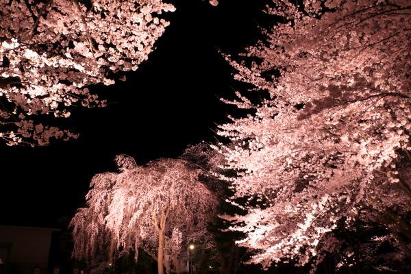 標本木の染井吉野と枝垂れ桜