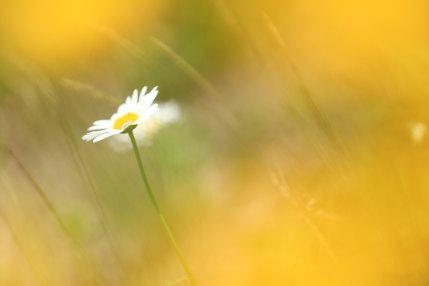ブタナの陰からフランス菊