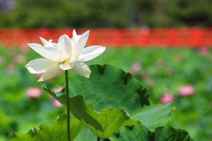 鉢植えに入った色んな蓮の花