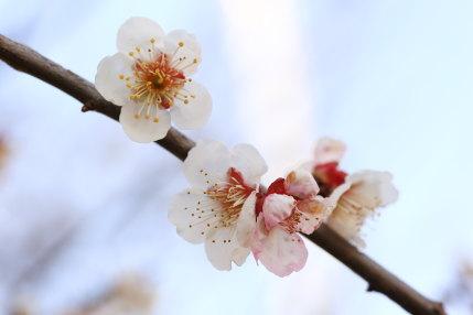 梅の花の撮影