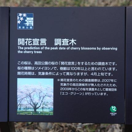 開花宣言 調査木