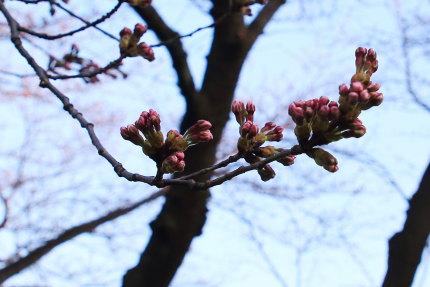 調査木のソメイヨシノ