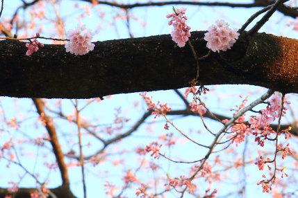 咲いている桜