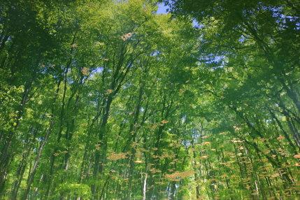 池に映るブナ林
