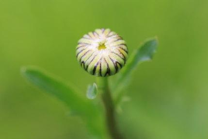 仏蘭西菊の蕾