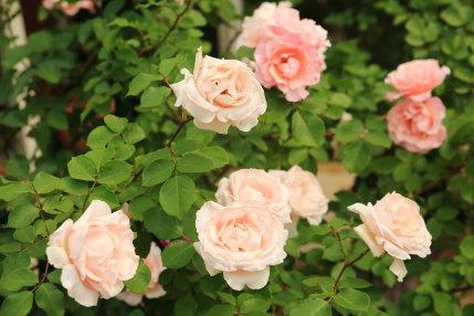いろんな種類の薔薇