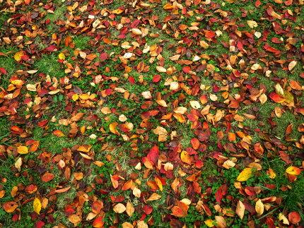 芝生に落ちた紅葉