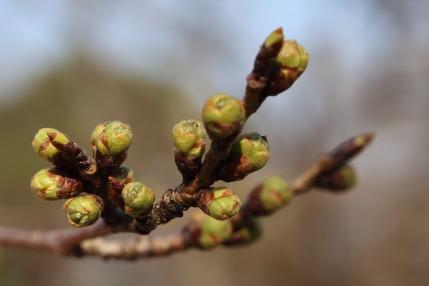 開花宣言調査木のさくら