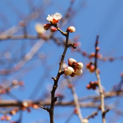 咲き始めた梅の花