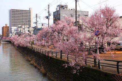 儀明川の小彼岸桜