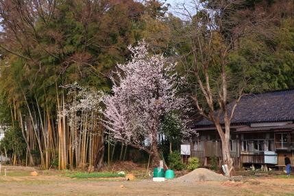 小彼岸桜や梅