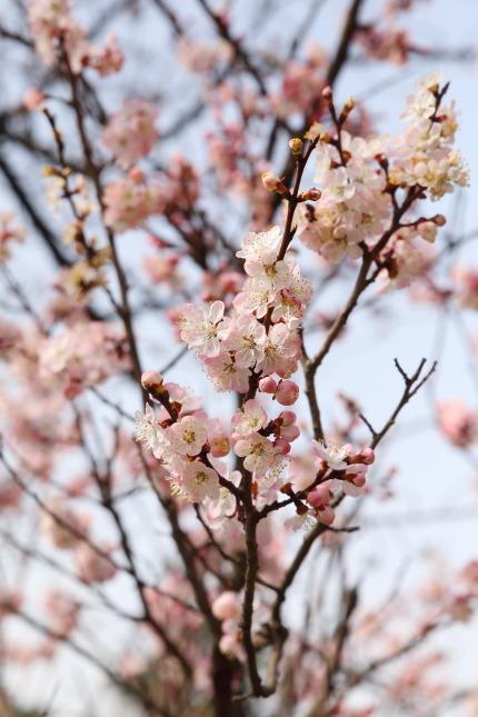 染井吉野とは違う種類の桜