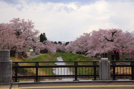 青田川のソメイヨシノ