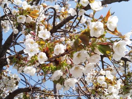 大島桜と思われる花