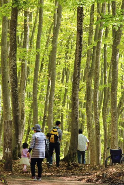 松之山にあるブナ林