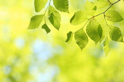 ブナの新緑