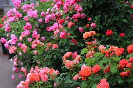 バラの数や種類が増えている