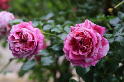赤白斑な薔薇