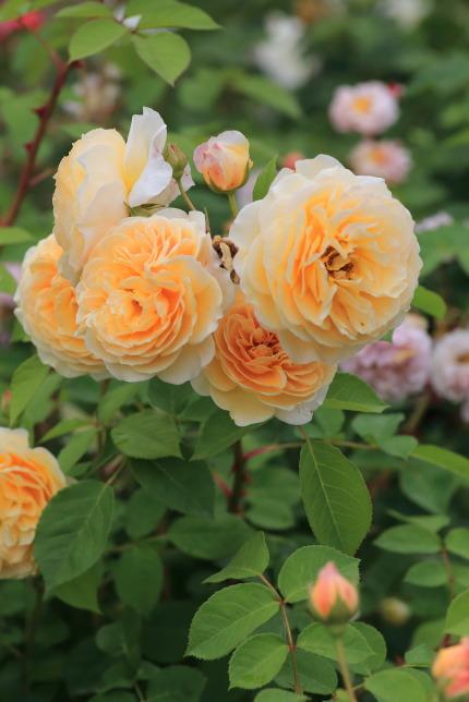 薄オレンジ色のバラ