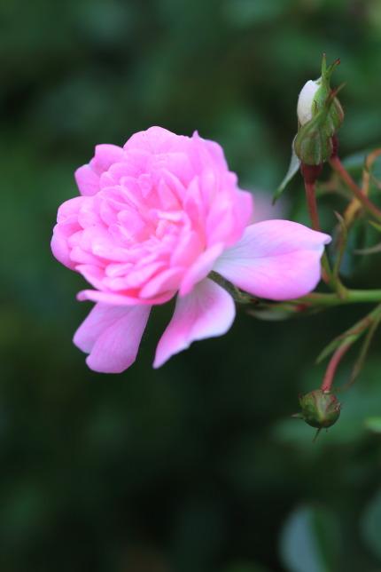 小さくて可愛らしいピンクの薔薇