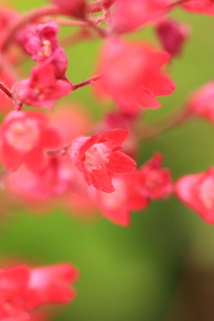 赤花ツボサンゴ(ヒューケラ)