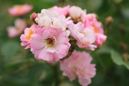 小いさい薔薇