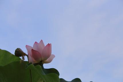 青空にハスの花