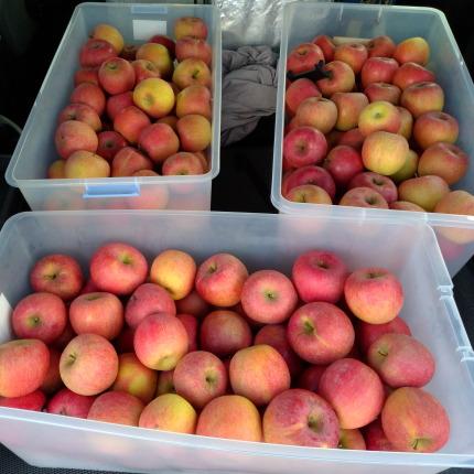 家庭用の傷がついたり大きさが不揃いな林檎