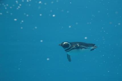 マゼランペンギンが水中を泳ぐ姿
