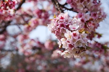 ソメイヨシノでは無い種類の桜