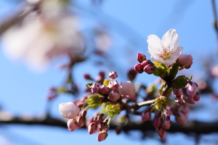 咲き始めた弊社のソメイヨシノ
