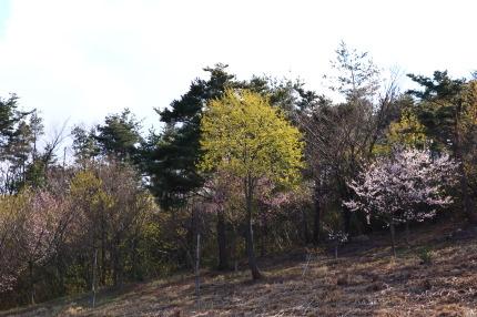 東側にも数本桜が植えてあり