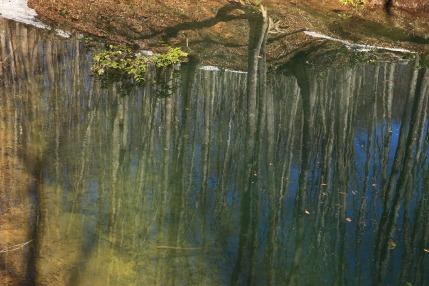 池に写る逆さブナ