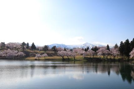 妙高サンシャインランド付近の桜