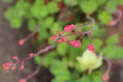 赤花ツボサンゴ