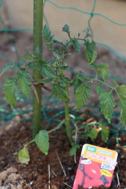 安く販売されていたトマトの苗