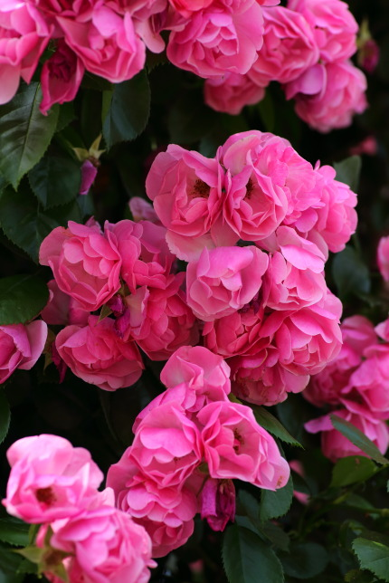 ラファミーユスユクル (La Famille Sucre)さんの薔薇1