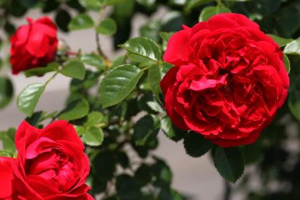 ラファミーユスユクル (La Famille Sucre)さんの薔薇2