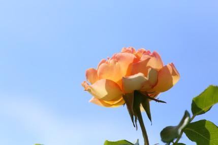 ラファミーユスユクル (La Famille Sucre)さんの薔薇6