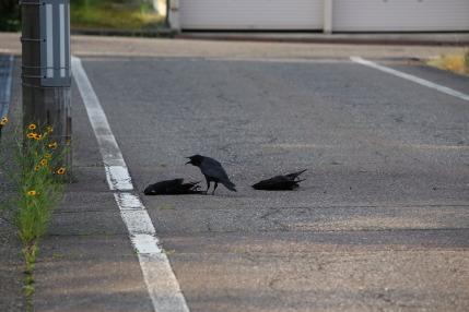 カラスが2羽死んでいました
