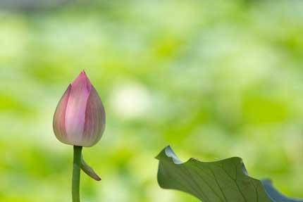 蕾のはすの花