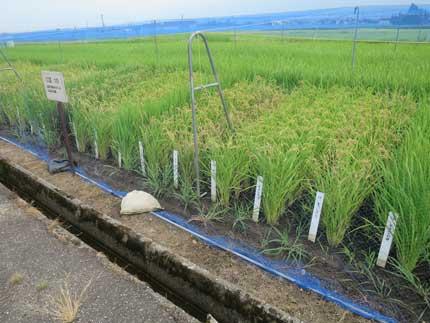 たくさんの種類のお米を栽培