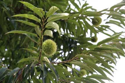 栗の木が実を付けてありました