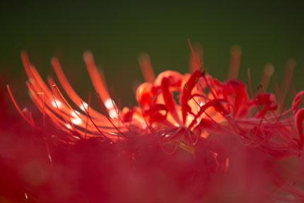 光り輝く彼岸花