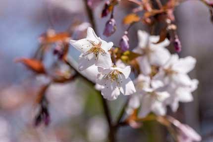 稚木の桜(ワカキノサクラ)