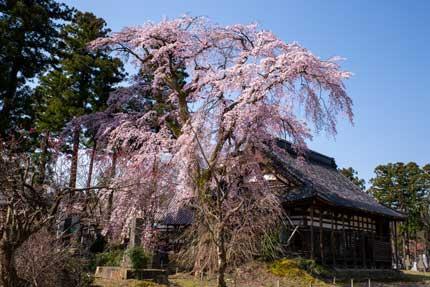 日朝寺さんの枝垂れ桜