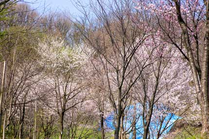 金谷山さくら千本の会の方々が植えた桜